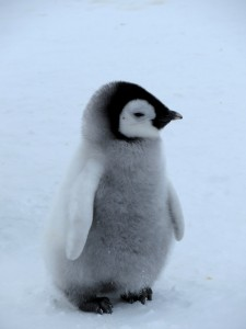 Emperor Penguin chick - the very definition of cute